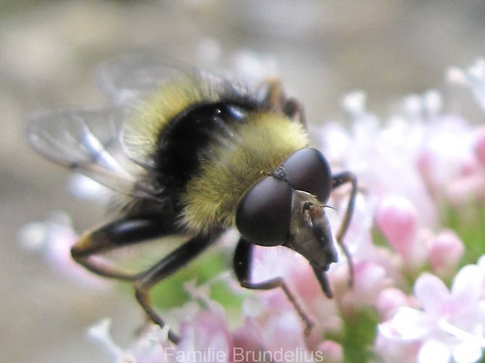insekten_Hummel