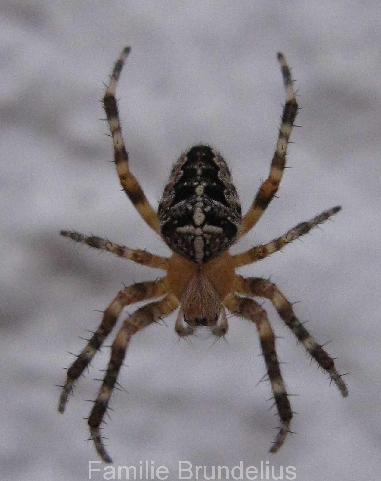 insekten_Spinne