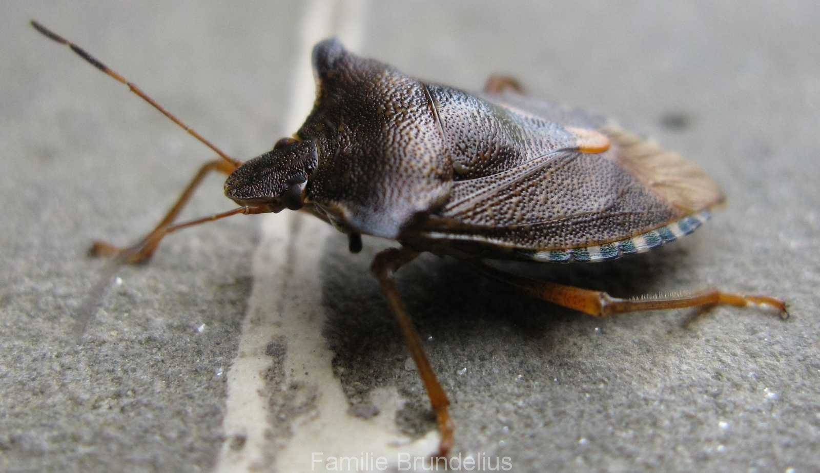 insekten_Wanze