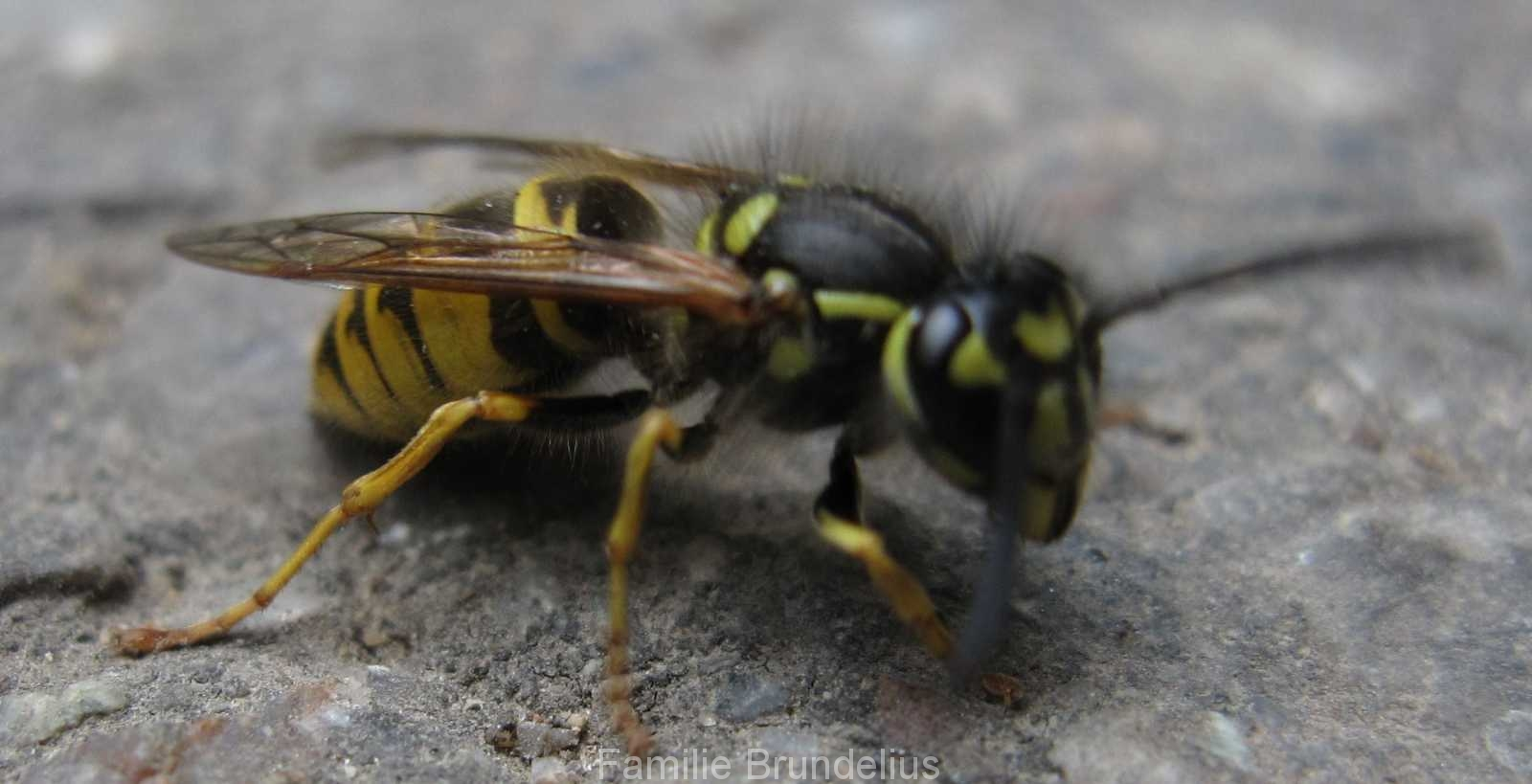insekten_Wespe