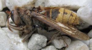 insekten_Hornisse