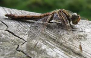 insekten_Libelle