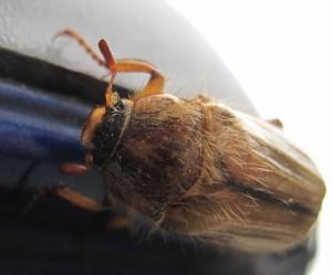 insekten_Maikäfer